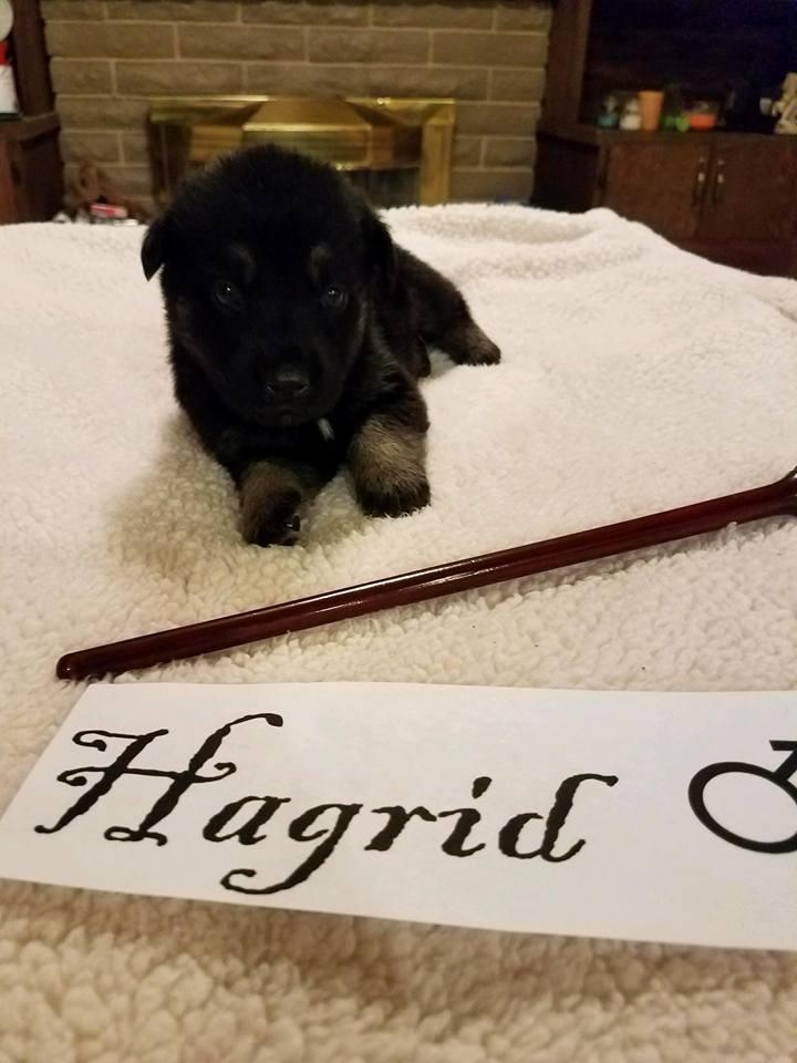 adopt-hagrid