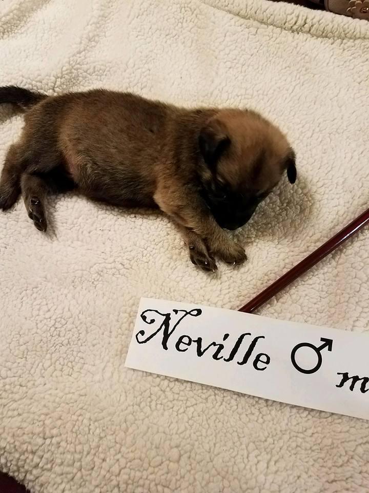 adopt-neville