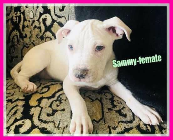 adopt-sammy