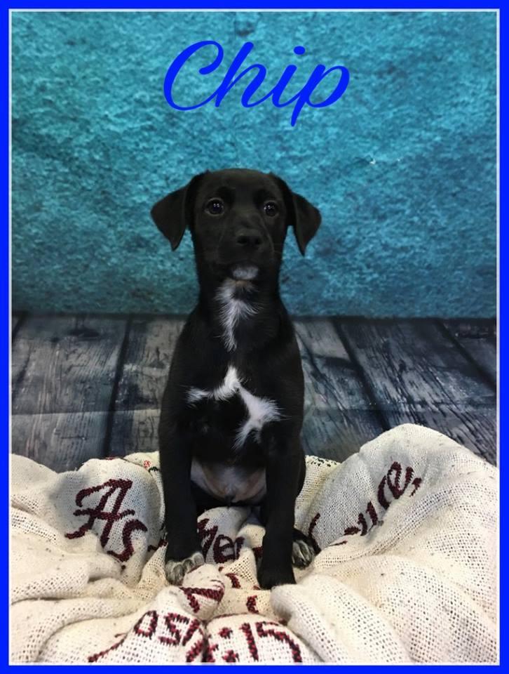 chip-adopt