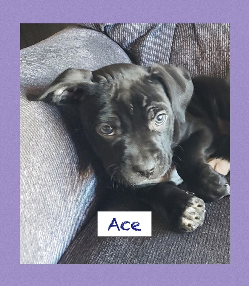 adoptable-ace