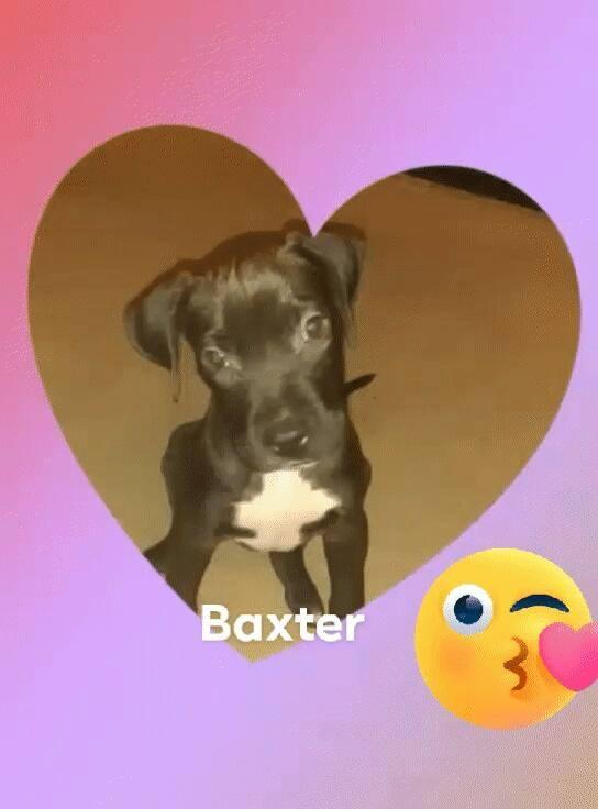 adoptable-baxter