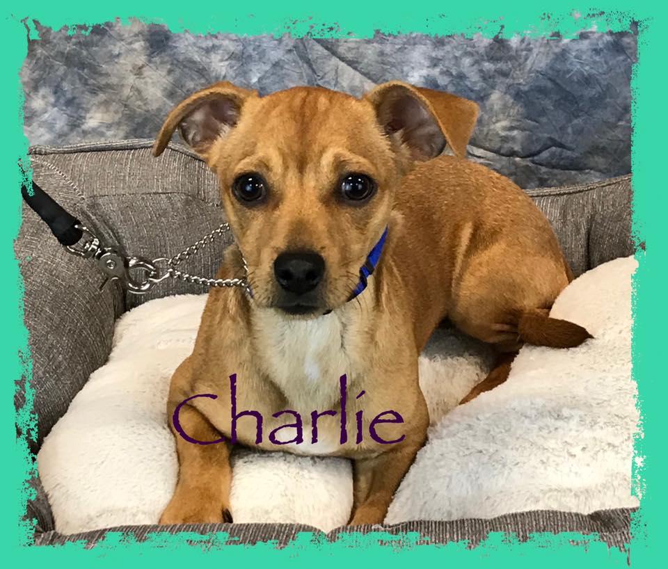 adoptable-charlie