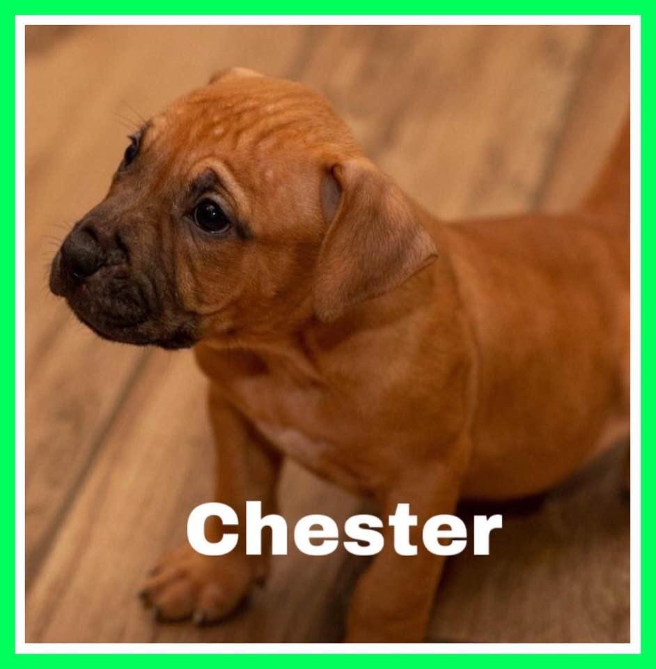 adoptable-chester