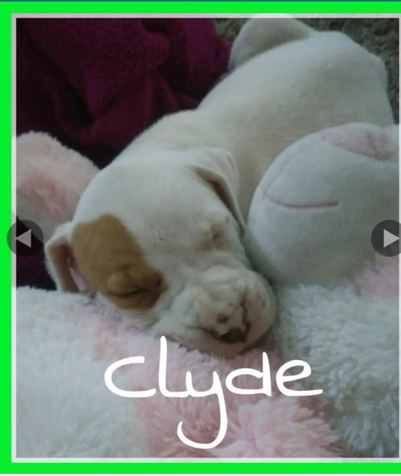 adoptable-clyde