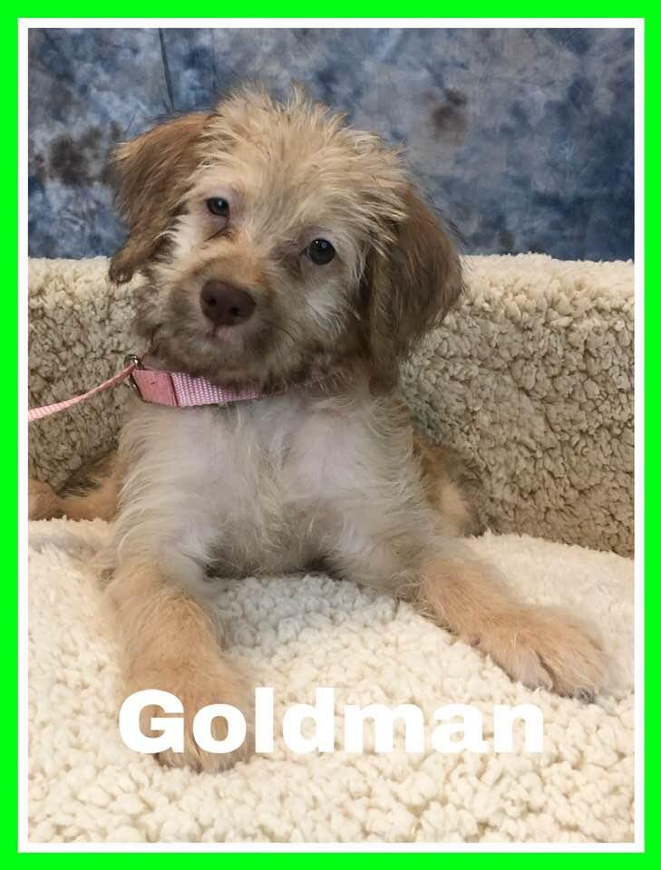 adoptable-goldman