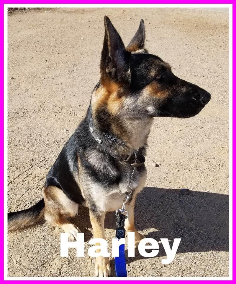adoptable-harley