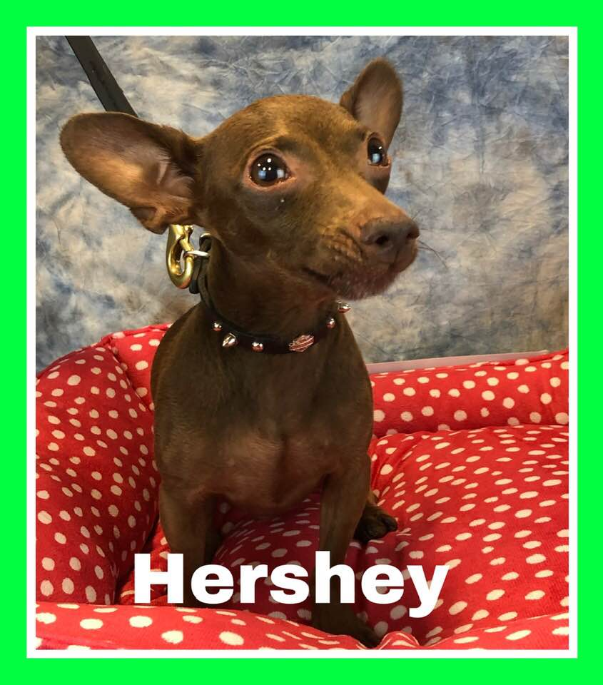 adoptable-hershey