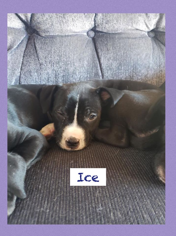adoptable-ice