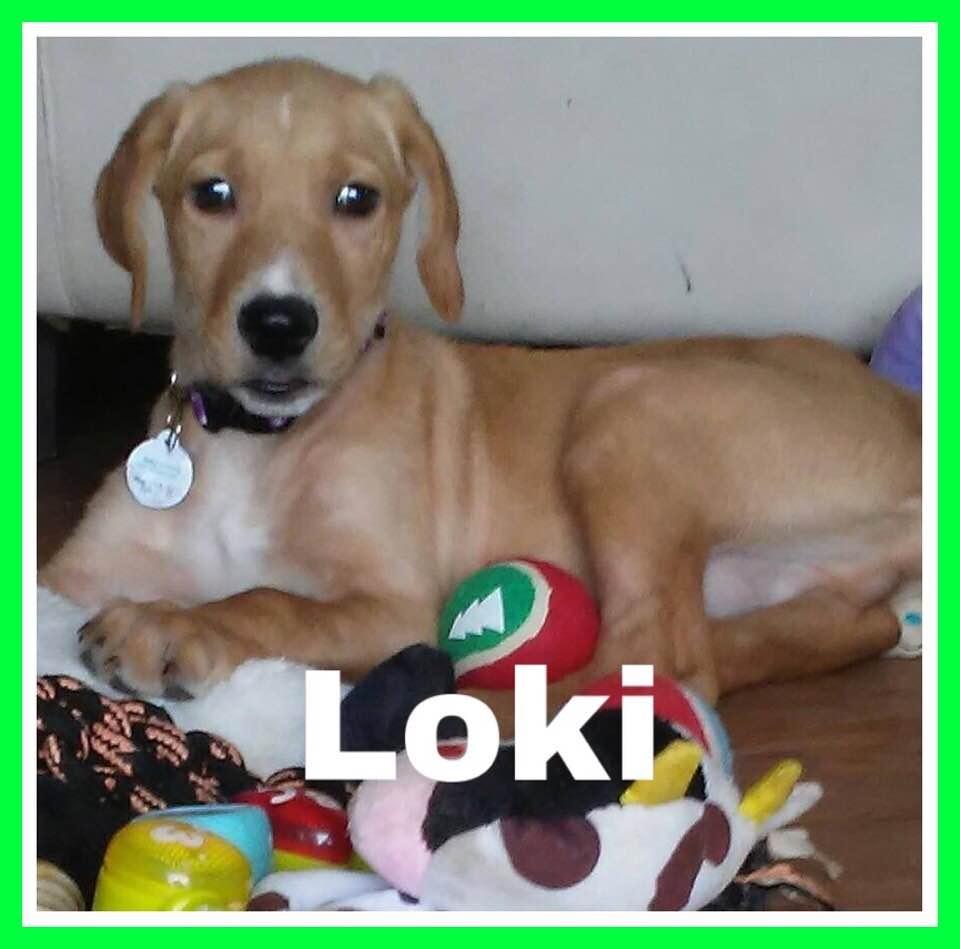 adoptable-loki