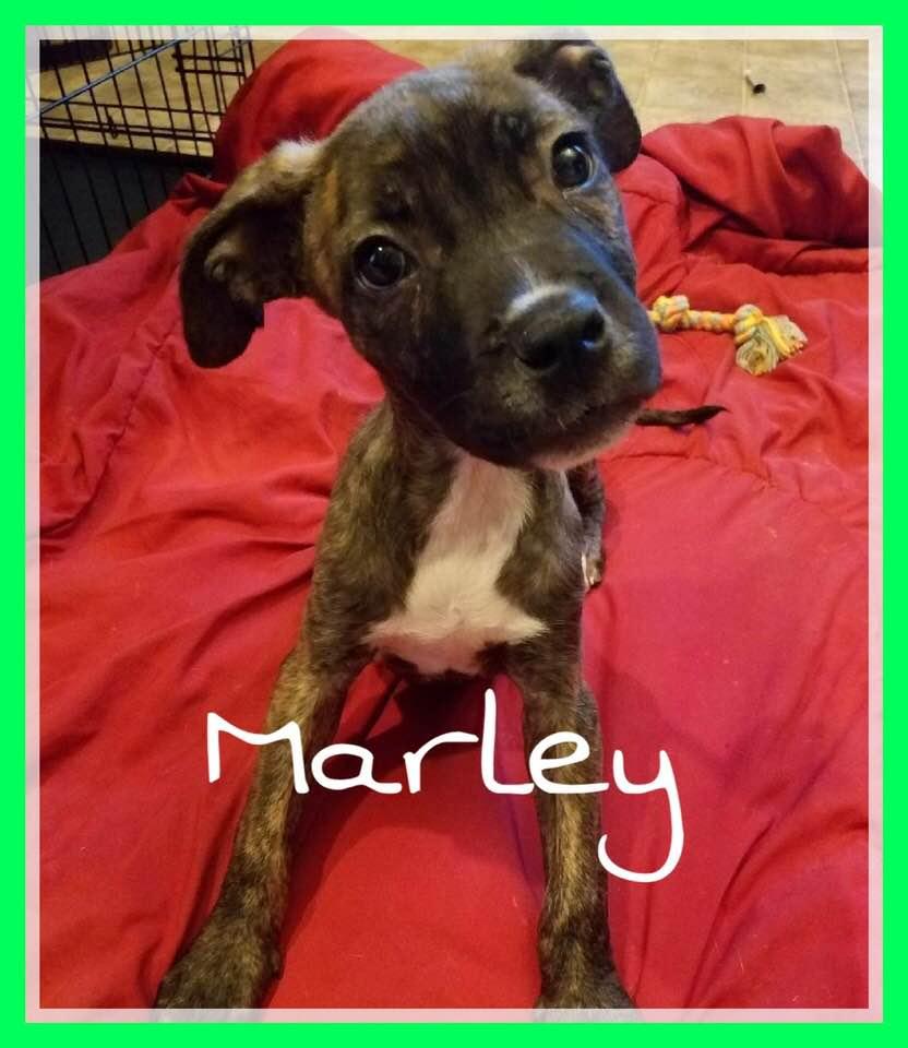 adoptable-marley