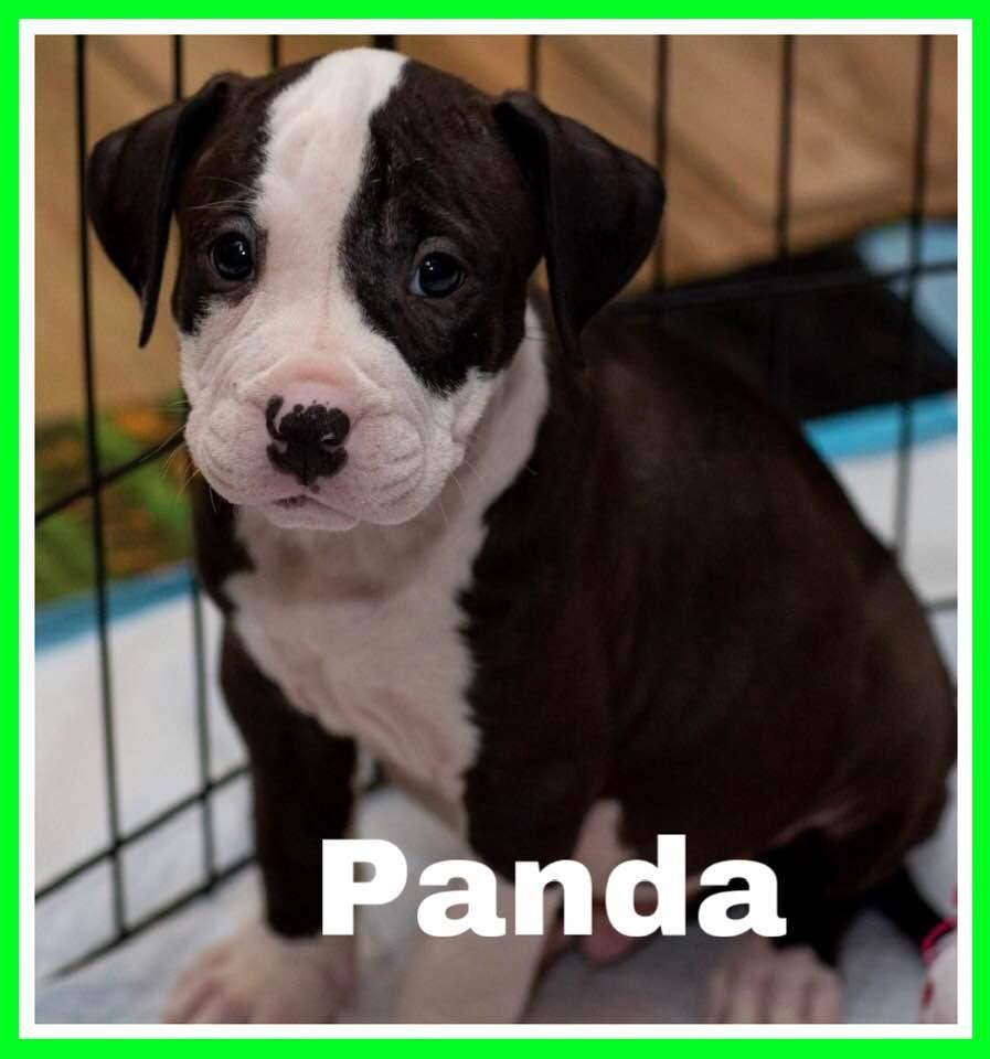 adoptable-panda