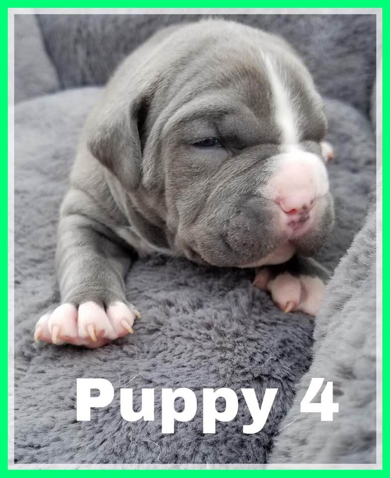 adoptable-puppy4