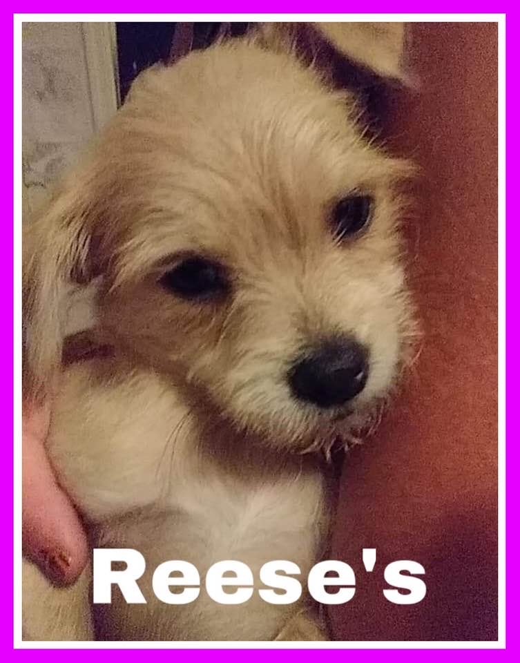 adoptable-reeses