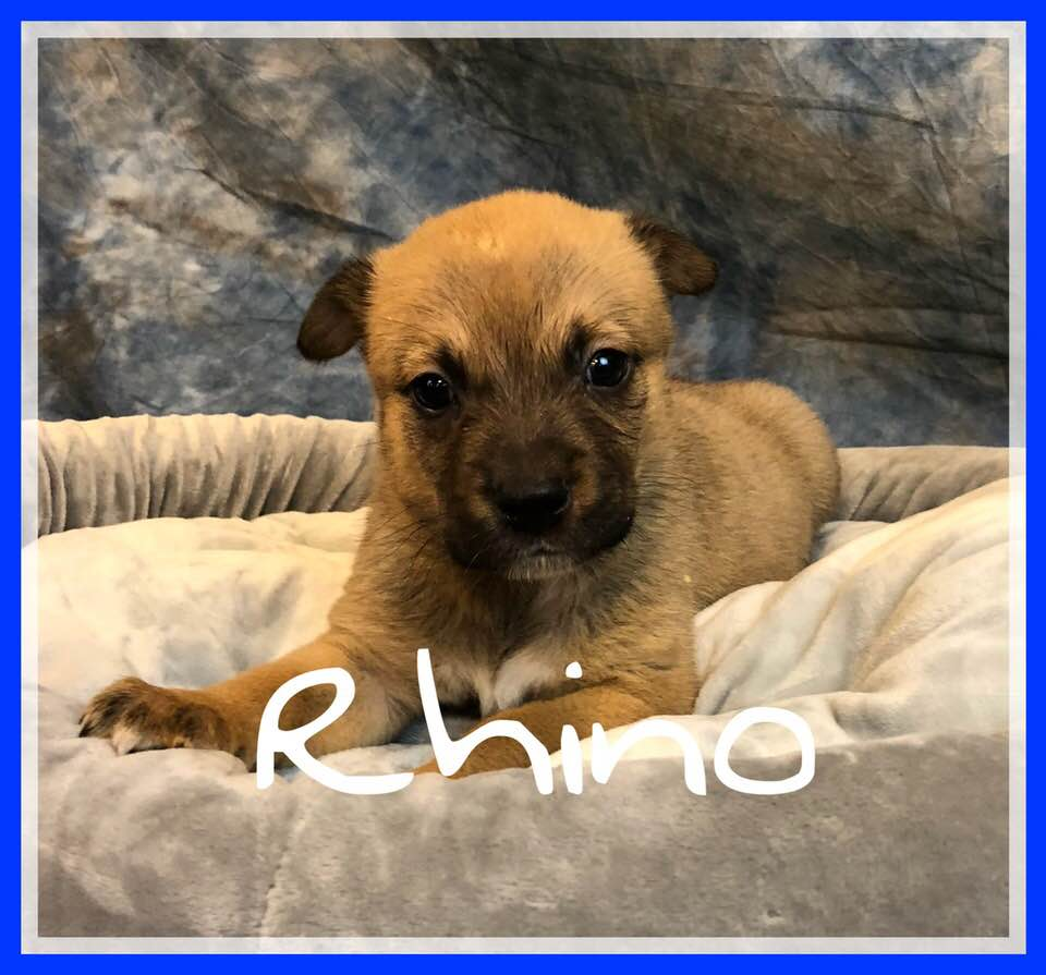 adoptable-rhino