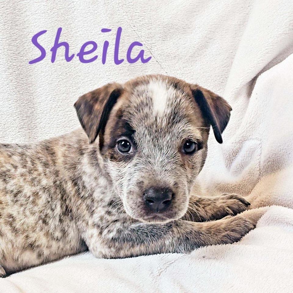 adoptable-sheila