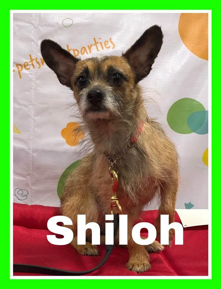 adoptable-shiloh