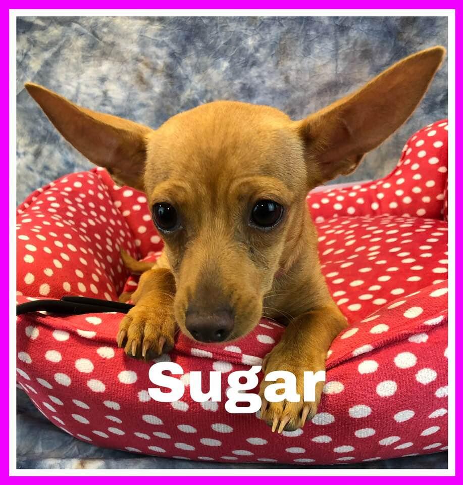 adoptable-sugar