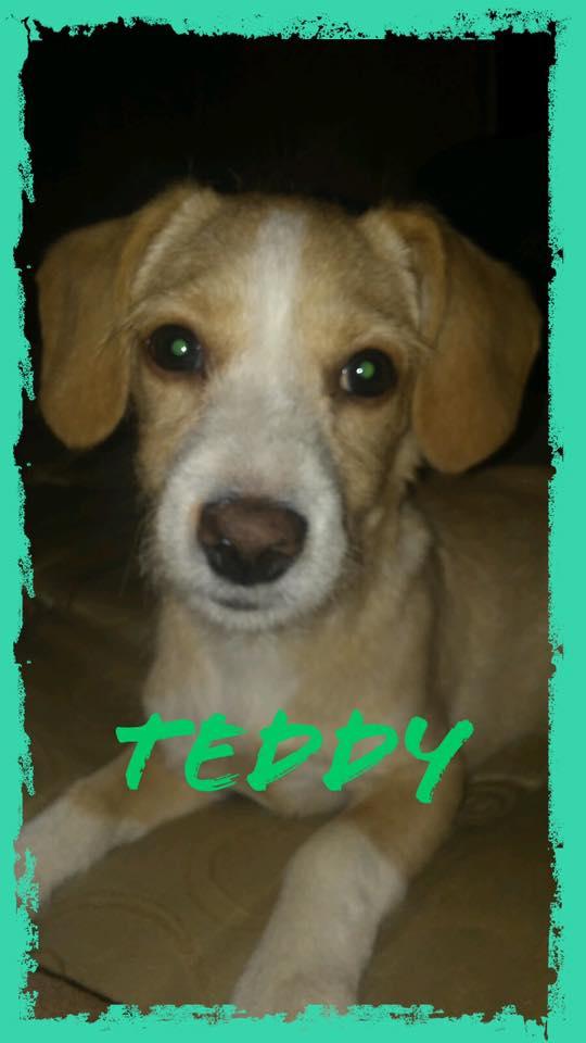 adoptable-teddy