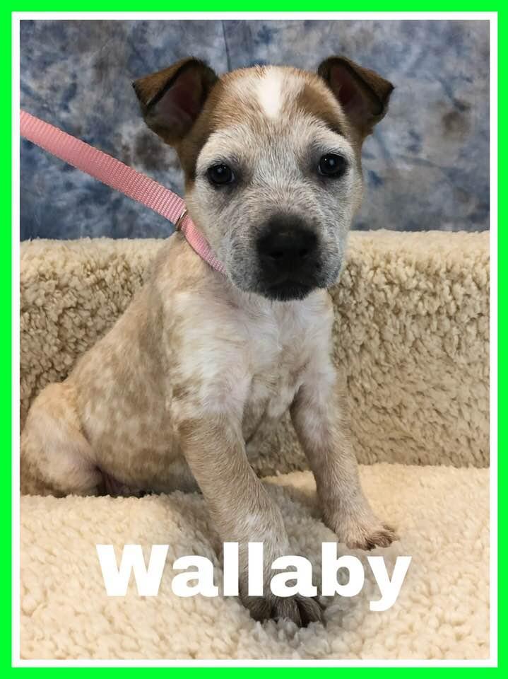 adoptable-wallaby