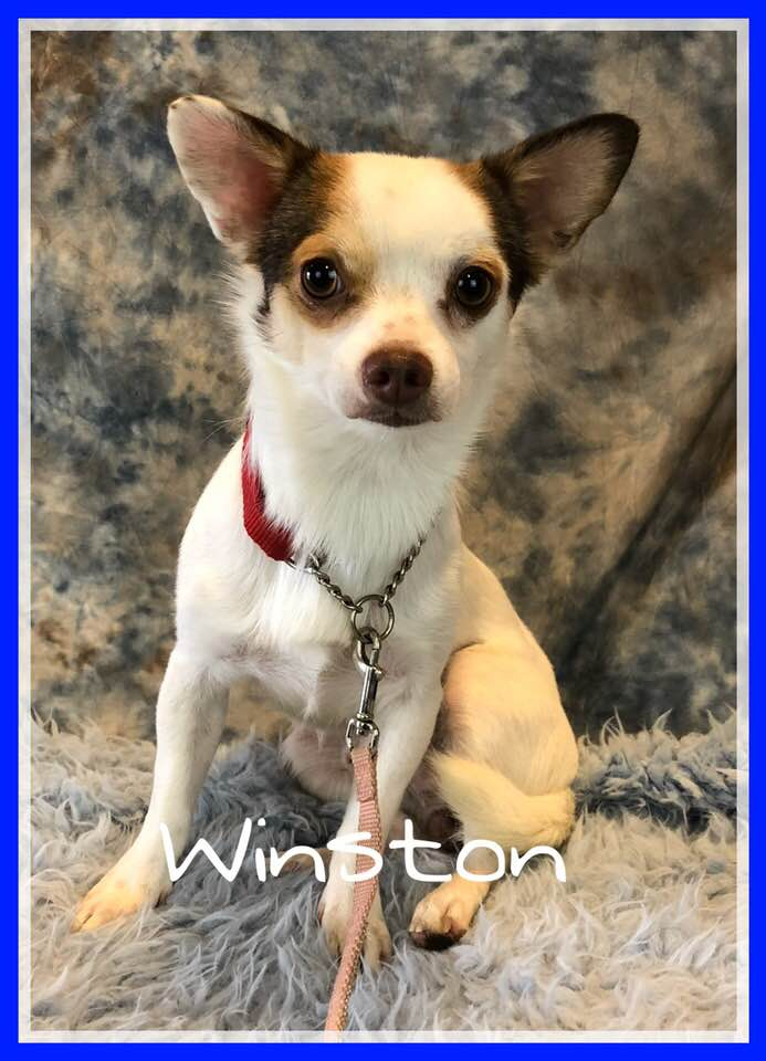 adoptable-winston