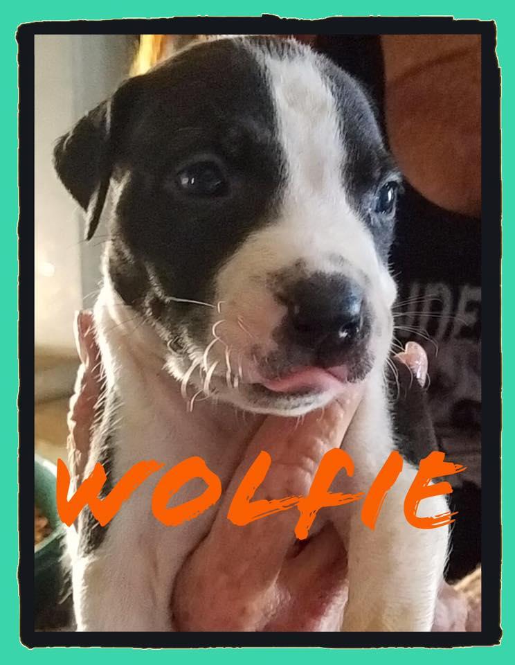 adoptable-wolfie