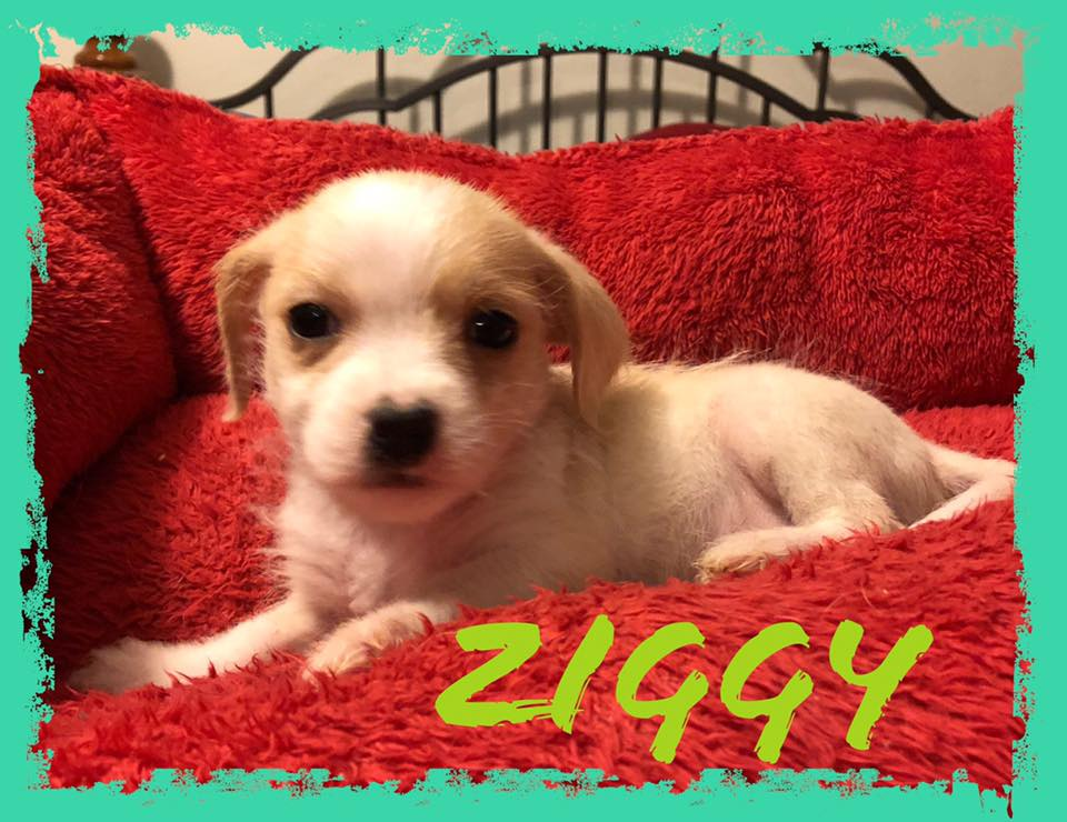 adoptable-ziggy