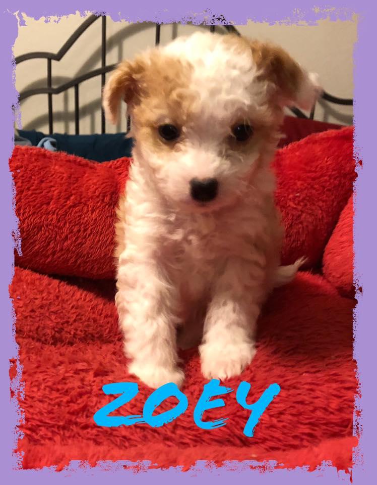 adoptable-zoey